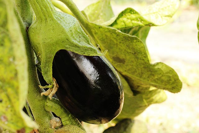 Aubergines noires bio 500g